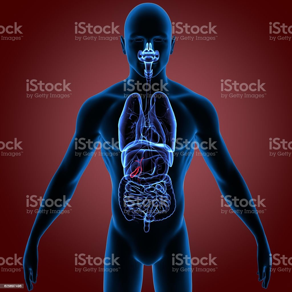 3d rendered, medically accurate illustration of the pancreas stock photo