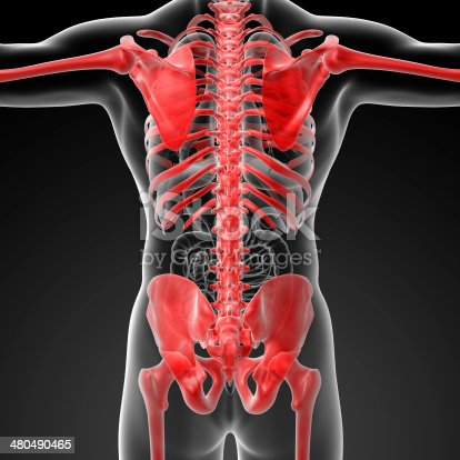 496193187istockphoto 3d rendered skeleton - close up back view 480490465