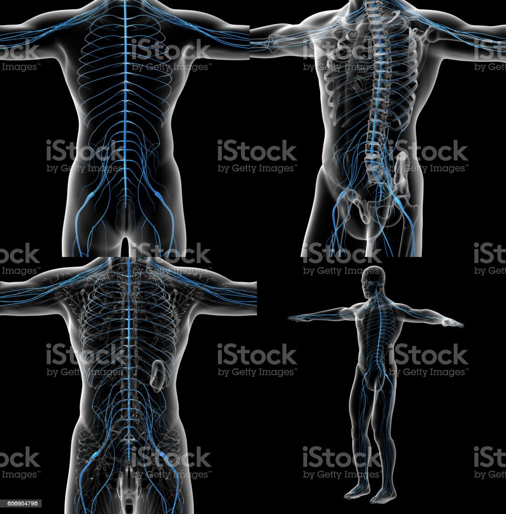 3d rendering illustration of the male nervous system stock photo