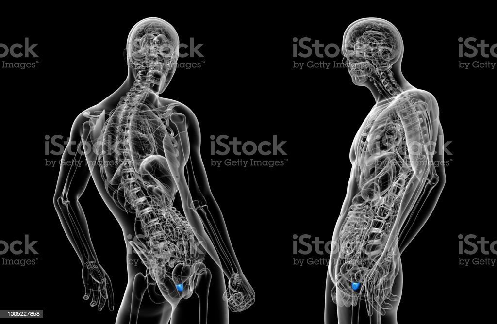 3d rendering illustration of the prostate gland stock photo