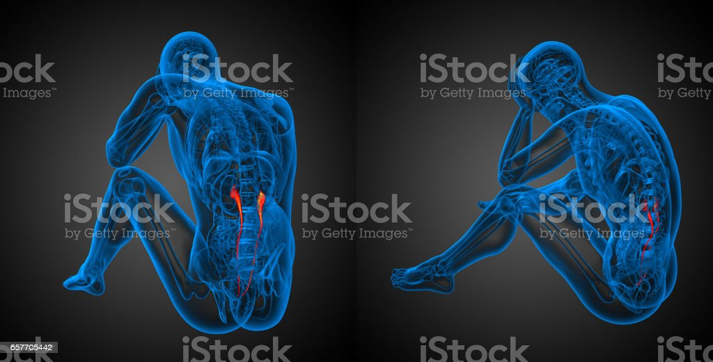 3d rendering illustration of the ureter stock photo