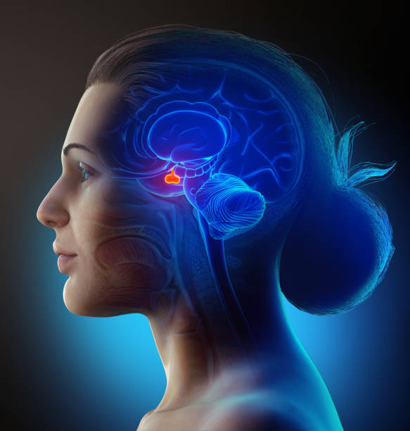 3d rendering medical illustration of a female Brain anatomy PITUITARY GLAND - cross section 3d rendering medical illustration of a female Brain anatomy PITUITARY GLAND - cross section lateral ventricle stock pictures, royalty-free photos & images