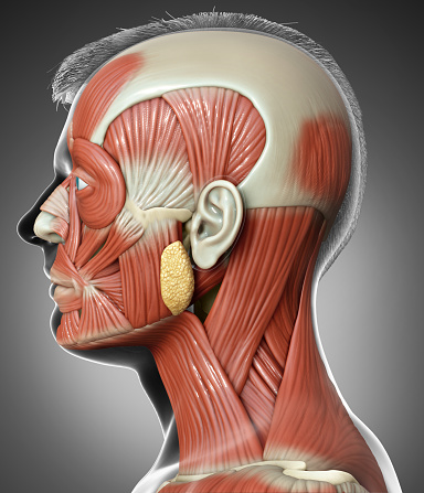 3d rendering medical illustration of male head anatomy for education