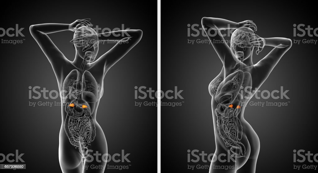 3d rendering  medical illustration of the adrenal stock photo