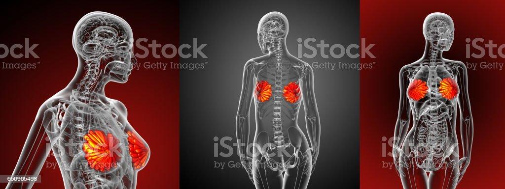 ilustração de médicos de renderização 3D da mama humana - foto de acervo