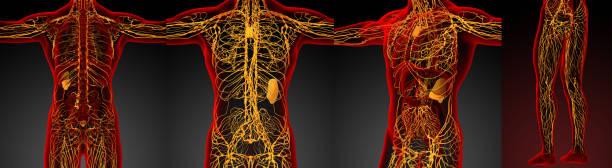 3D Rendering medizinische Illustration des lymphatischen Systems – Foto