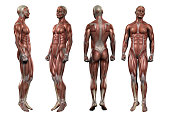 istock 3d rendering medical illustration of the muscle 871490642