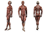 istock 3d rendering medical illustration of the muscle 878056164