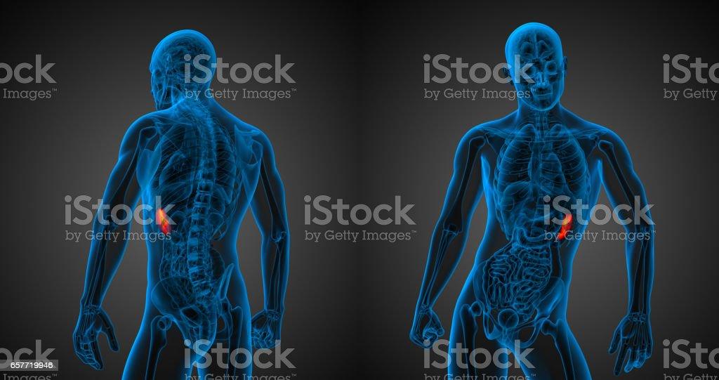 3D ilustración médica de la representación del bazo - foto de stock