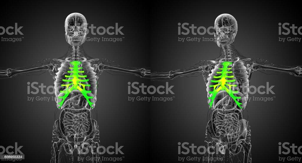3d Rendering Medizinische Illustration Des Brustbeins Und Knorpel ...