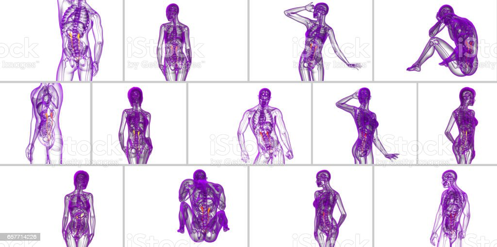 3d rendering medical illustration of the ureter stock photo