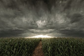 3d Rendering of pathway in the middle of green cornfield in front of dramatic sky. Selective focus