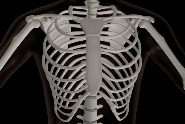 rendu 3d de la partie thoracique du squelette - sternum photos et images de collection