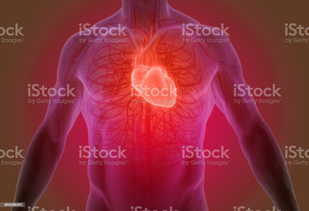 3d rendering of the human heart anatomy stock photo