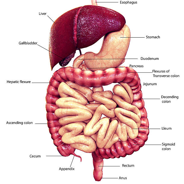 3d renderings of digestive system stock photo