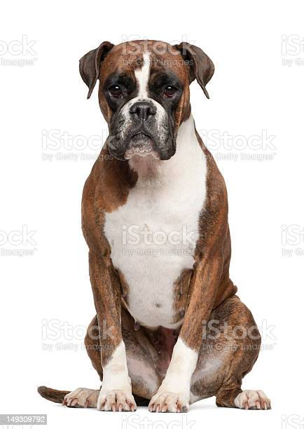 3yearold white and brown boxer sitting on white surface picture id149309792?b=1&k=6&m=149309792&s=612x612&h=ywaqf9dmupz7dxatqh2mhcgwdrmsqri9 zeiwt 46xq=