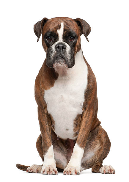 3yearold white and brown boxer sitting on white surface picture id149309792?b=1&k=6&m=149309792&s=612x612&w=0&h=bnaxjd8bz2hv01feiwhzbcnnfv2ixmpn7ypafzg84o8=
