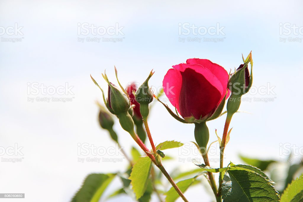4001_The branch of roses stock photo