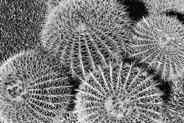 rbg 4ball kaktüsler üst - rbg stok fotoğraflar ve resimler