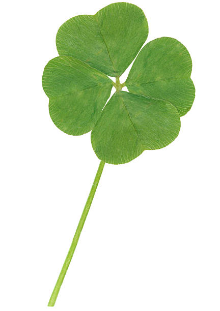 4-leaf clover on white background stock photo