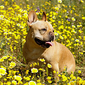 istock 5-Year-Old Male Frenchie Sitting in Blooming Tidytips Field 1312331465