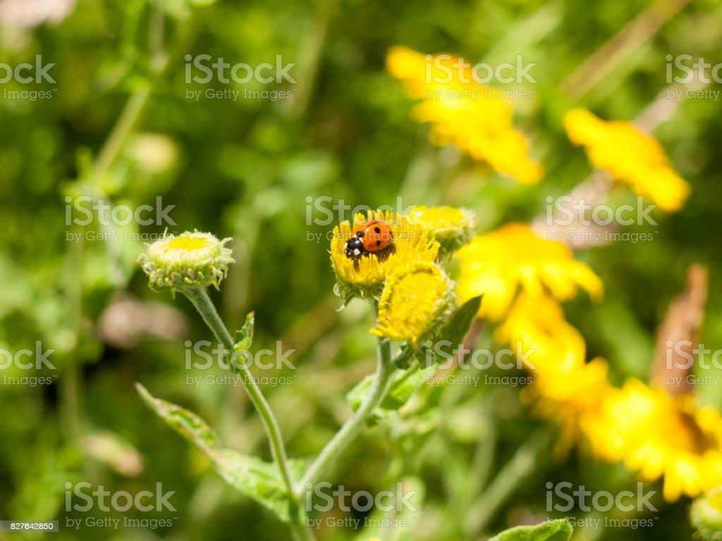 7-Dot Ladybird (Coccinella 7-punctata) on Yellow Flower Outsider stock photo