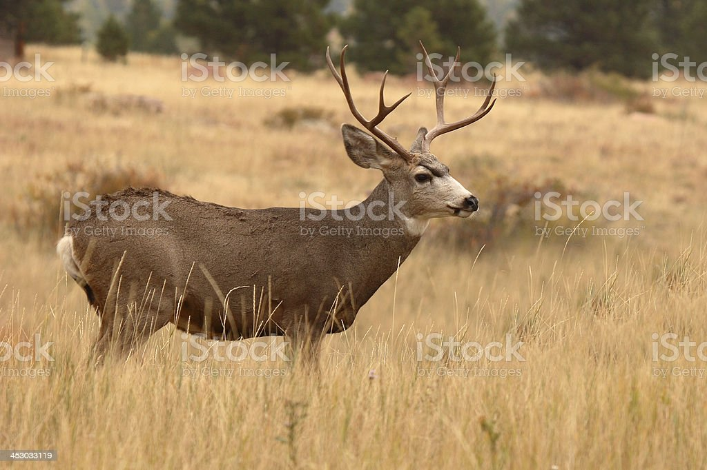 8point Mule Deer Buck Stock Photo More Pictures Of Animal Istock