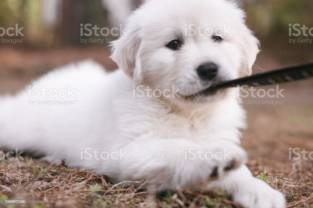 8week Old Golden Retriever Puppy Biting Leash Stock Photo - Download Image  Now