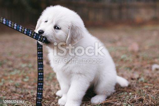 8-Week Old Golden Retriever Puppy Biting Leash