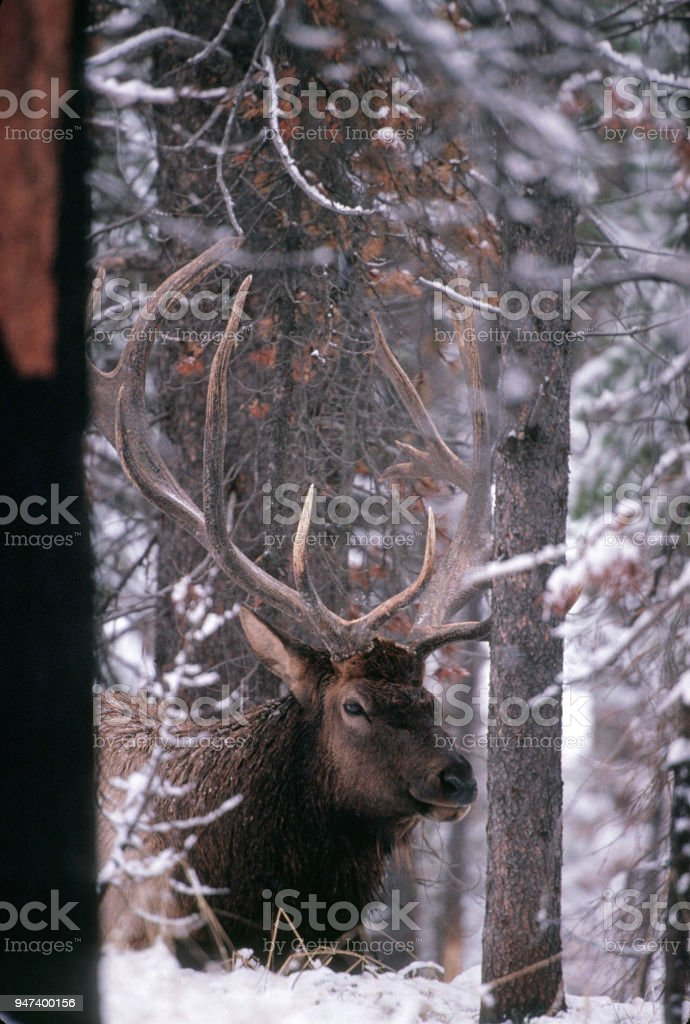 9x11 Bull Elk Laying in Snowy Forest stock photo