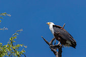 a african fish eagle sitting in a tree