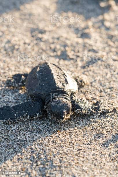 A baby turtle walking towards the sea picture id1143453011?b=1&k=6&m=1143453011&s=612x612&h=vy4sinthepfflpjtczw2ltpjplnya5f0cfw6i2ykpdi=