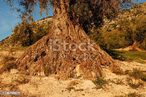 1135138312istockphoto a beautiful and ancient olive tree 1139706672