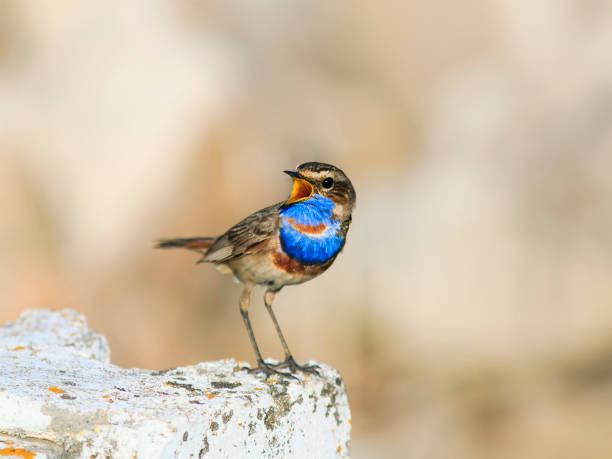 un bel oiseau avec des plumes bleues brillantes se dresse sur une pierre et chante au printemps - Photo