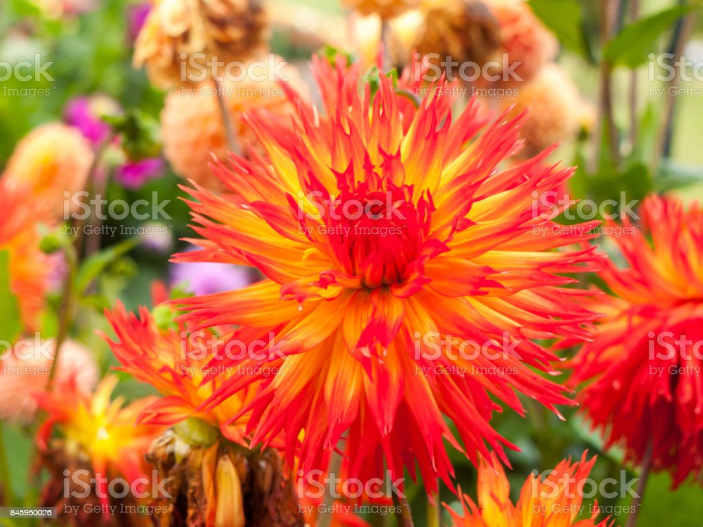 a beautiful bright red and orange flower up close blooming stock photo