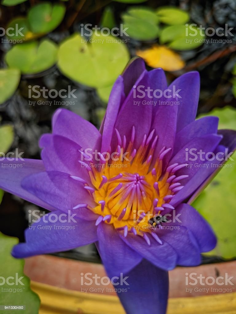 A Beautiful Closedup Purple Lotus Flower Blooming In Lotus Pot And A