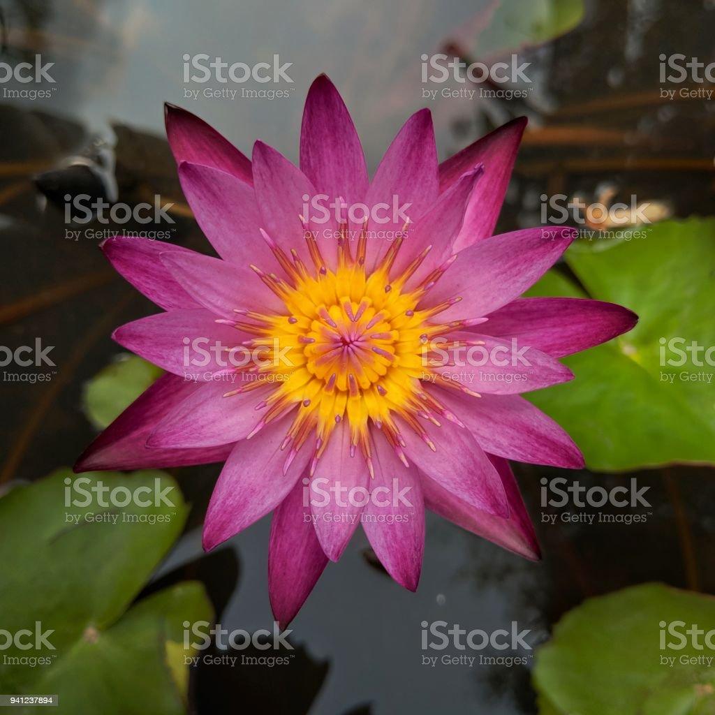 A Beautiful Dark Pink Lotus Flower Blooming Over The Water In Lotus