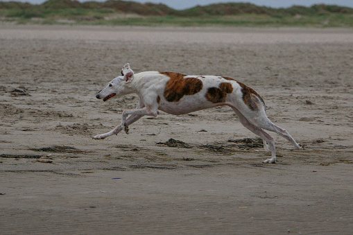 beautiful galgo is running at the beach at the north sea