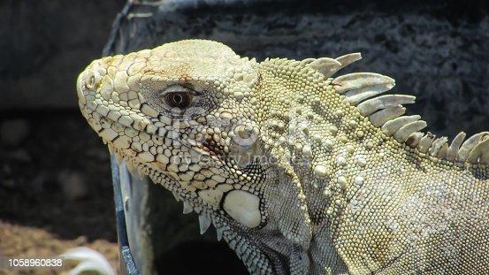 istock a beautiful Iguana 1058960838