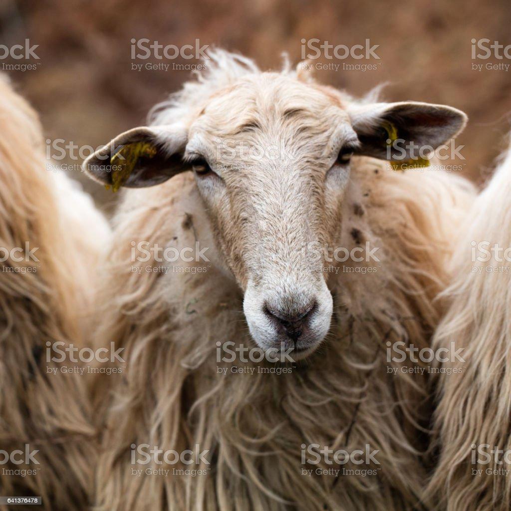 a beautiful long wool hair sheep looking at the camera stock photo