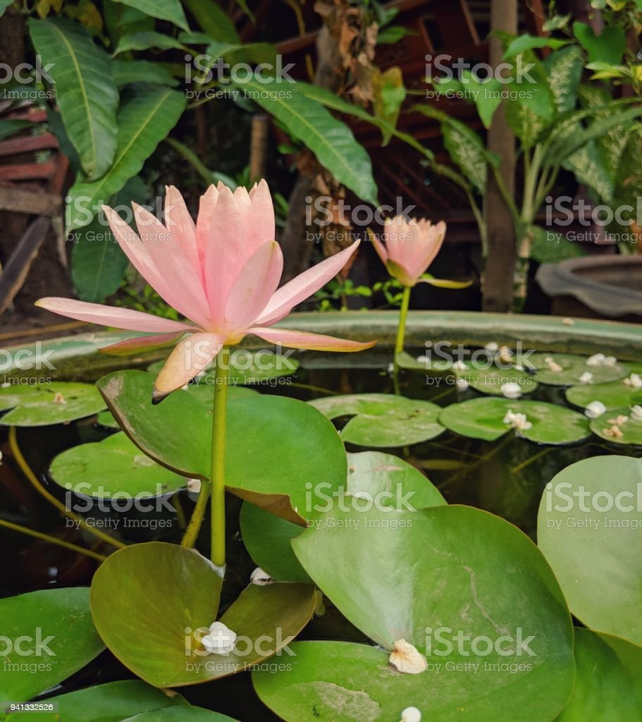 A Beautiful Soft Pastel Pink Peach Lotus Flower Blooming Over The