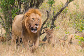 a big male lion protecting his lion cub