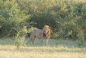 Two lionesses (Panthera leo) at a waterhole, Etosha National Park, Namibia