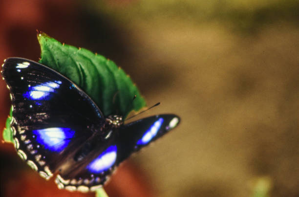 a black butterfly with glowing spots on its wings stock photo