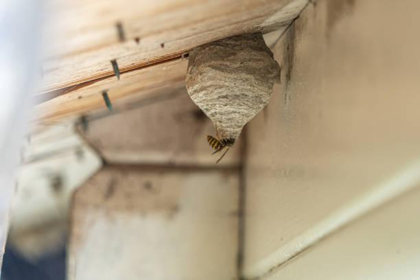 Eine schwarz-gelbe Wespe baut ein Wennest unter einem hölzernen Dachüberhang – Foto