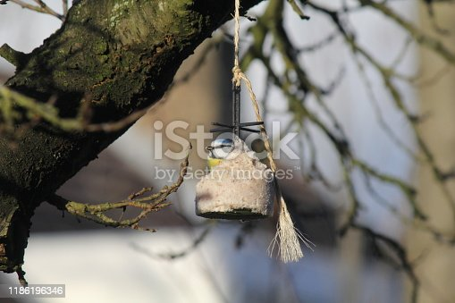 a big fat globule with a blue tit closeup at a branch in a tree in the garden in winter