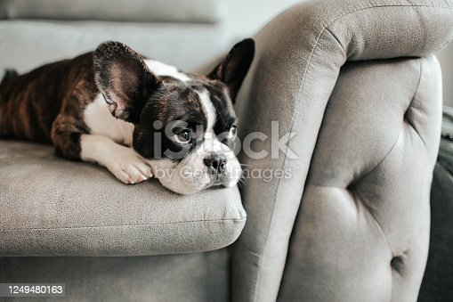 a bored french bulldog lying down and resting on sofa looking outside