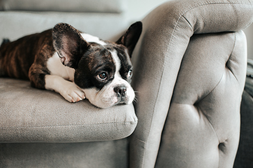 Brindle and white french bulldog laying on chair couch with pain look.
