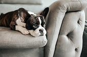 istock a bored french bulldog lying down and resting on sofa looking outside 1249480163