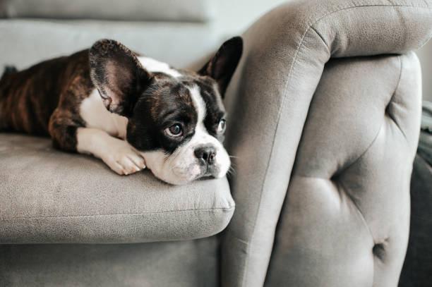 un bulldog francés aburrido acostado y descansando en el sofá mirando al aire libre - dog fotografías e imágenes de stock